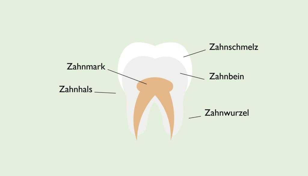 Aufbau eines Zahnes: Zahnschmelz, Zahnbein, Zahnmark, Zahnwurzel, Zahnhals